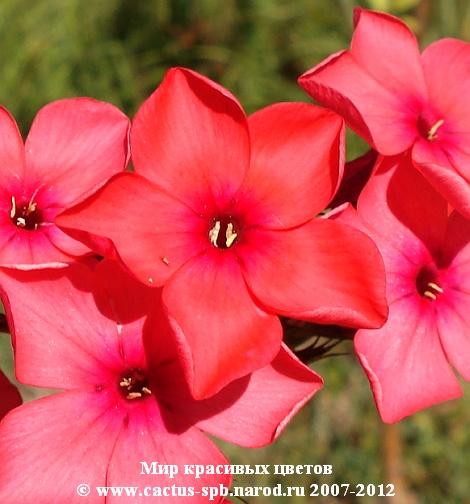 Гиппеаструм все нюансы ухода за цветком в домашних